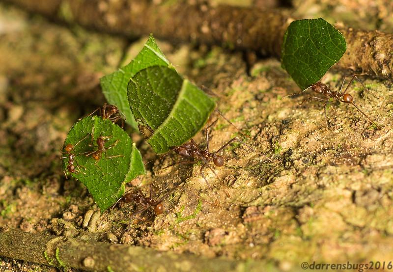 Leafcutter ants, genus Atta, from Belize. These fascinating ants are carrying leaves back to the colony, but not to eat. Instead, they will use them to cultivate a nutritious fungus, which is then fed to their larvae.
