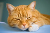 Orange colored tabby cat sleeping on the edge of a bed. Photography fine art photo prints print photos photograph photographs image images artwork.