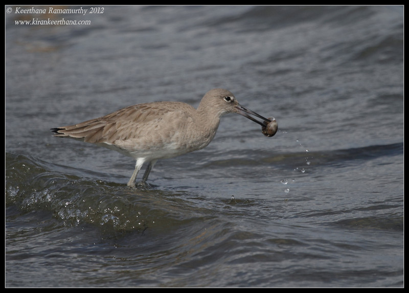 Willet playing around with a snail shell, Coronado Ferry Landing, San Diego County, California, February 2012