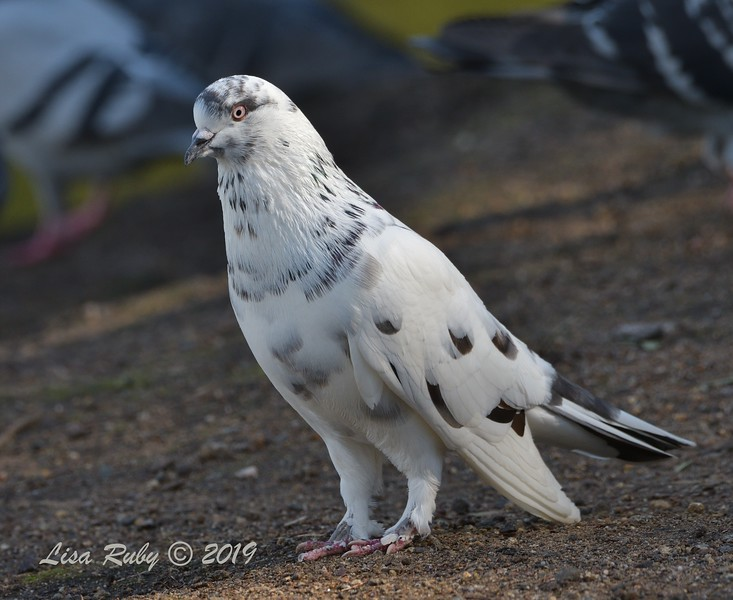 Feral Rock Pigeon  - 12/01/2019 - Lindo Lake