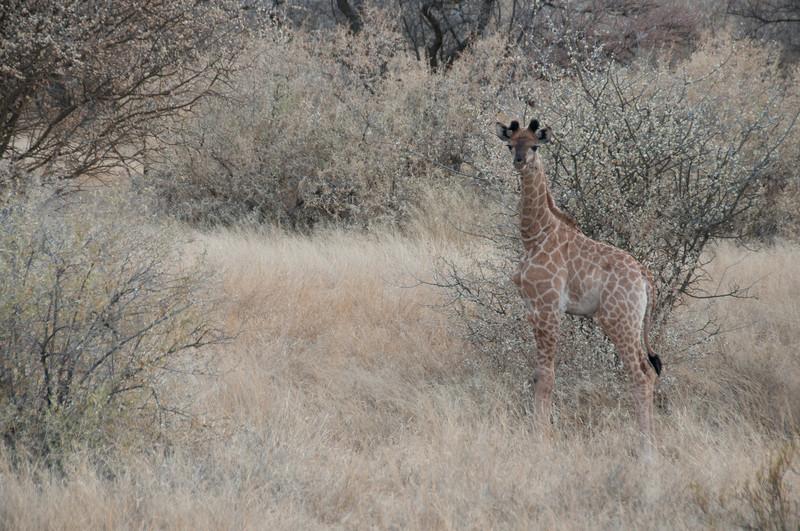 Baby giraffe in Mattanu Private Game Reserve in South Africa
