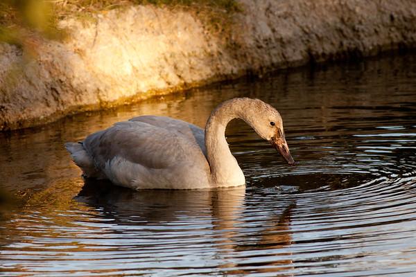 Ducks Geese Swans (Anatidae)