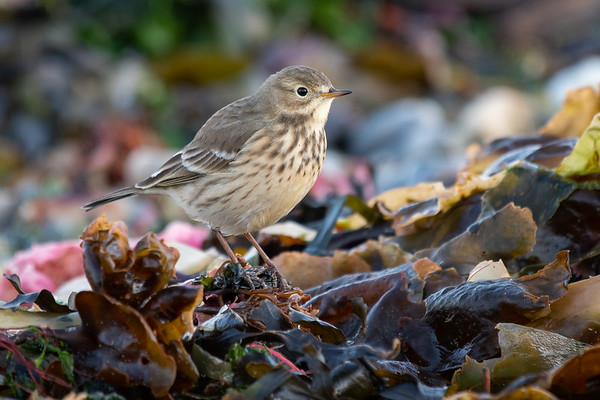 Larks and Pipits