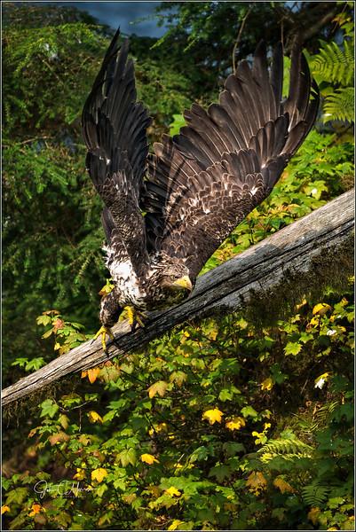 SR3_3437 Juv Bald Eagle taking off LPN W.jpg