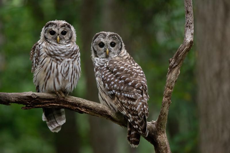 #1747 Barred Owlets