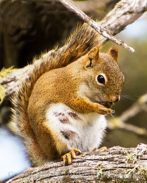 Momma Red Squirrel