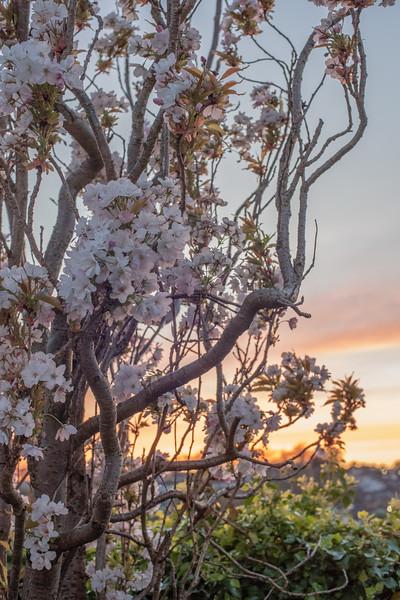 2020_Sunset Blossom