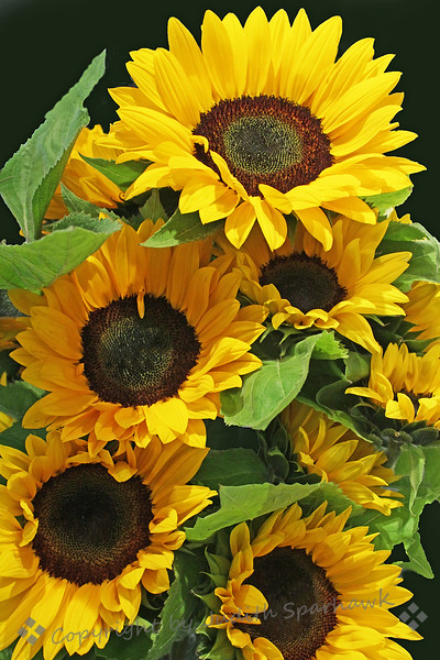 "Sunshine! ~ A beautiful bouquet of sunflowers at the art association's floral show, ""Art Alive"" this last weekend."