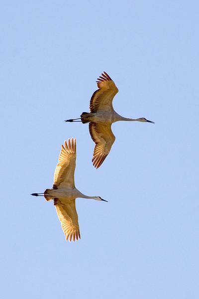 Crane - Sandhill - Bosque Del Apache NWR - NM - 06