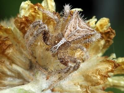 genus Sidymella