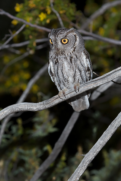 Screech owl.  Phoenix,AZ