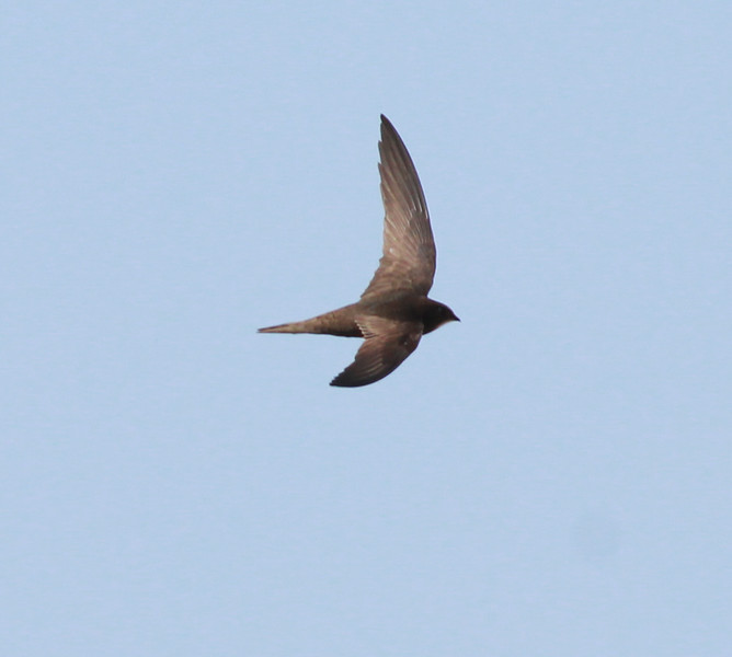 Common Swift Sitches Spain 2014 06 23-1.JPG.JPG