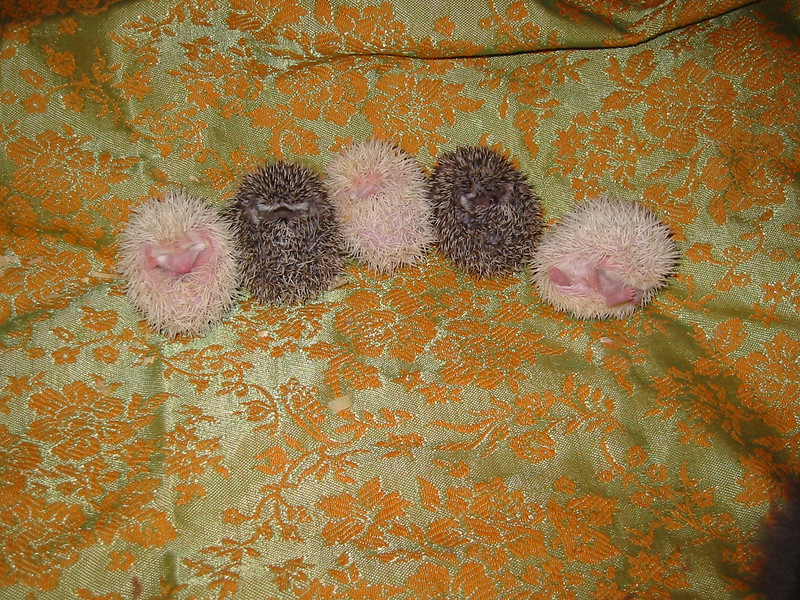 Litter - Reese Too and Augusta (04/29/2004)  25 days old.  Filename reference: 20040524-205838-HAH-Hedgehog_Babies