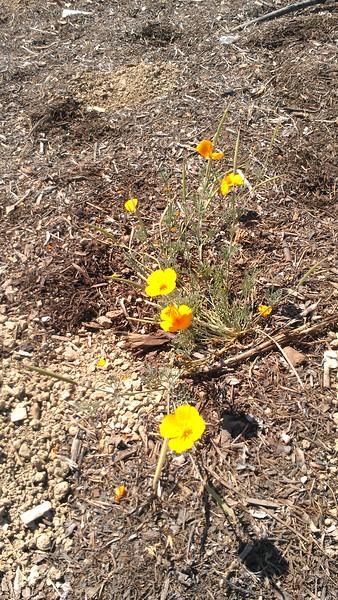 California Poppy(CU)