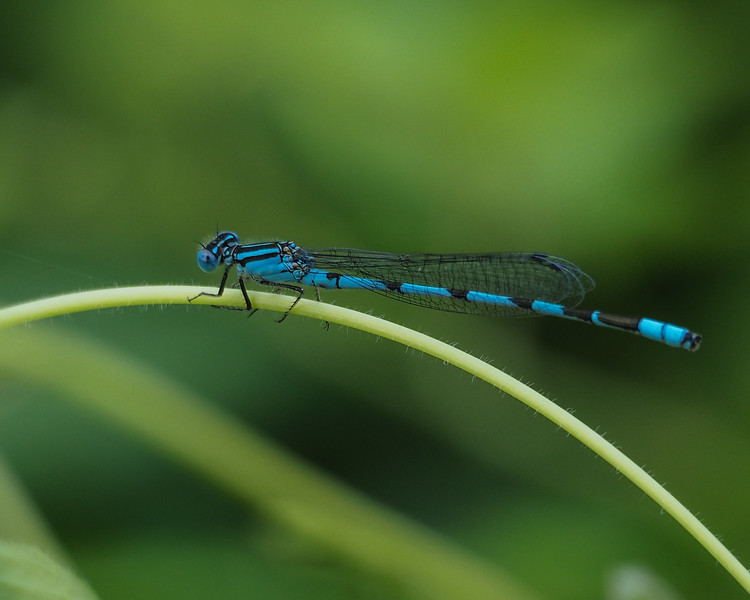 Big Bluet, male