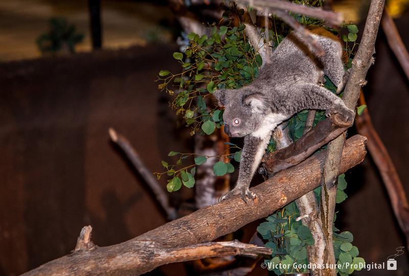 Koalafornia-41.jpg