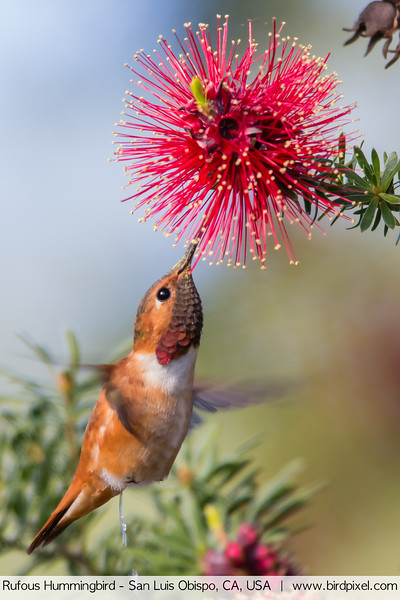 Rufous Hummingbird - San Luis Obispo, CA, USA