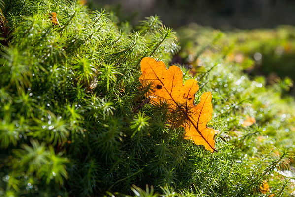 Illuminated oak leaf