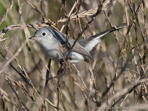 Blue Grey Gnatcatchers