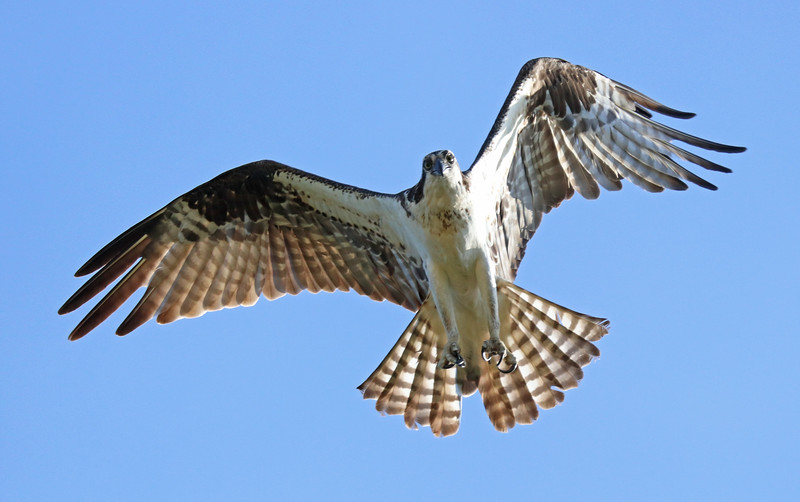 osprey 480.jpg