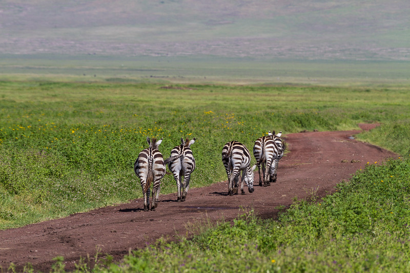 Zebras walking in national park - East Africa - Tanzania