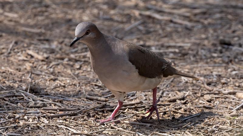 White-tipped Dove  @ Laguna Vista Nature Trail