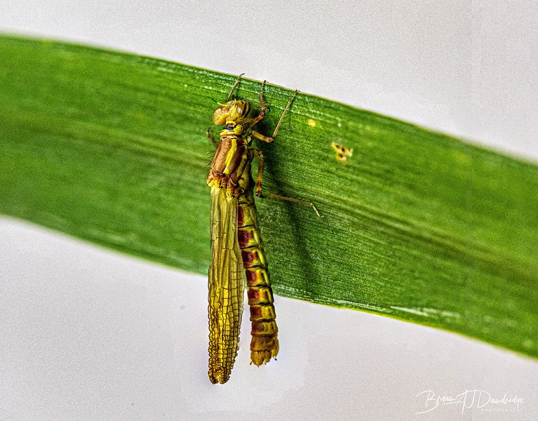 Emerging Damsel-2768-Edit.jpg