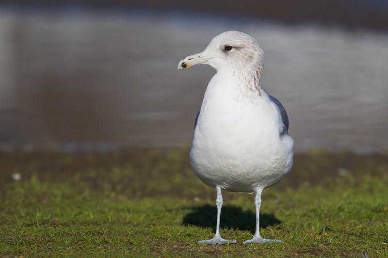 California Gull - Richmond Marina, Richmond, CA, USA