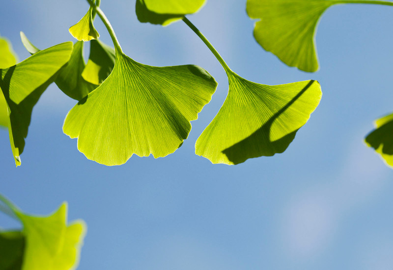 Gingko leaves in the spring