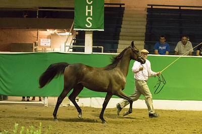 72 - OK Futurity 2 Year Old In Hand-Amateur Shown
