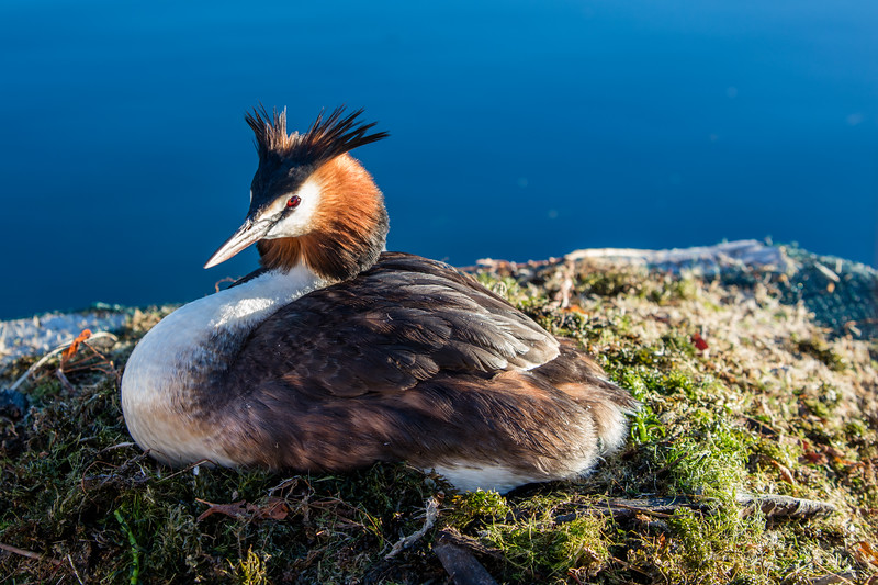 Southern Crested Grebe