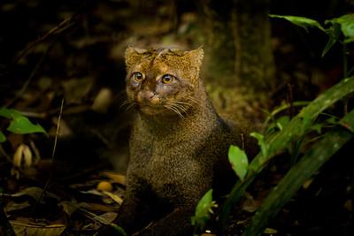 Jaguarundi - Belize