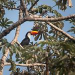 Gorgeous toucan hiding in tree top, Pantanal, Brazil