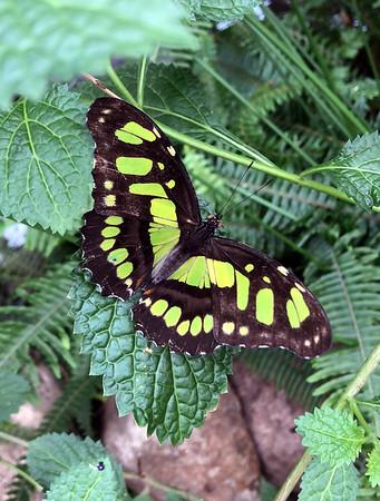 Sertoma Butterflies