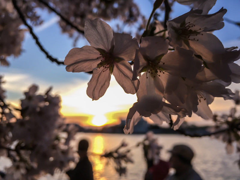 Cherry Blossoms at Sunrise-23.jpg