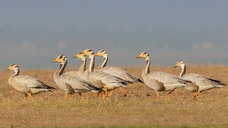 Bar-headed-Geese-Hampi-Ankasamudra-2.jpg