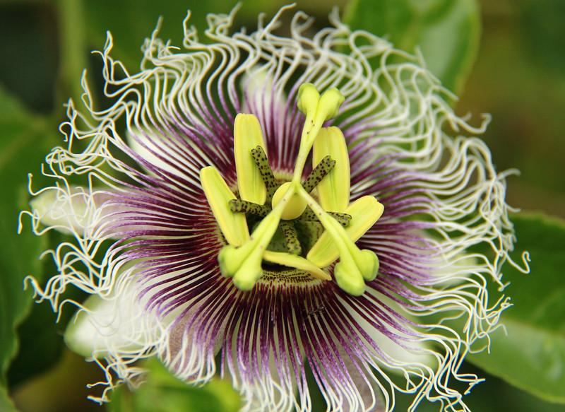 passion flower 1.jpg