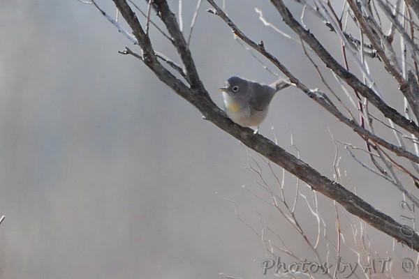 2012-02-20 Virginia's Warbler