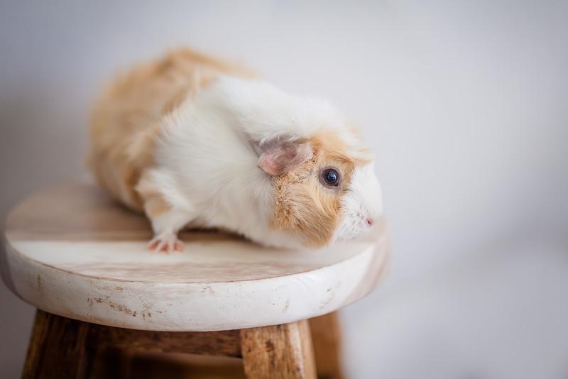 Ginea Pigs-2.jpg