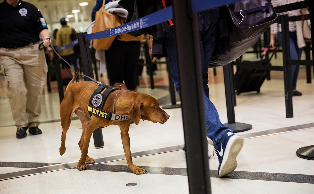 . A TSA explosives detection dog sniffs passengers as they go through a security checkpoint at Hartsfield-Jackson Atlanta International Airport ahead of the Thanksgiving holiday in Atlanta, Wednesday, Nov. 23, 2016. Almost 49 million people are expected to travel 50 miles or more for the holiday, the most since 2007, according to AAA. (AP Photo/David Goldman)