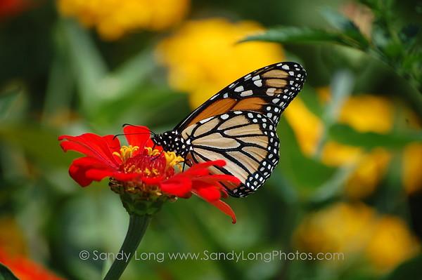 Monarch Message
