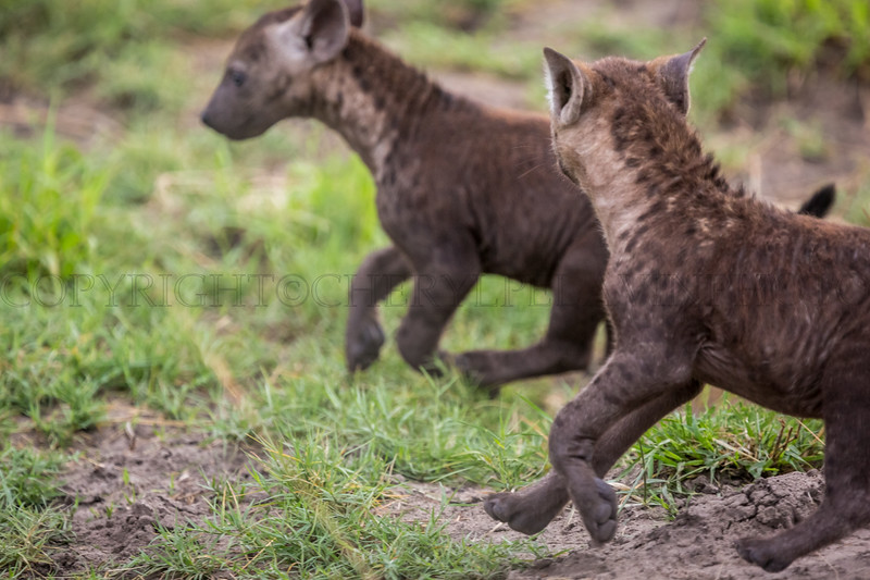Hyena Pups at Play
