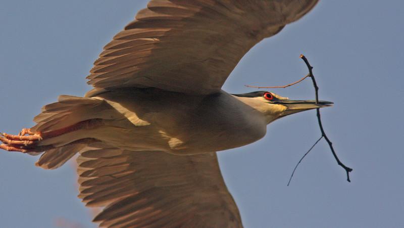WB~Rookery Night Heron stick1280.jpg
