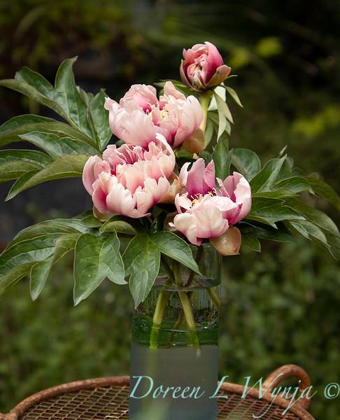Paeonia x 'RTPIV791-38' Caroline Constabel - Peony cut flowers_1220.jpg