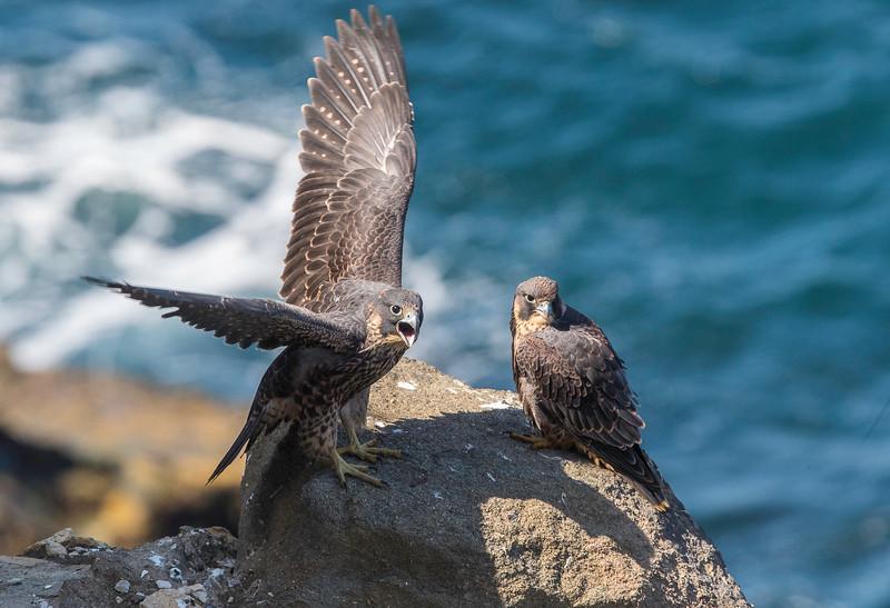 falcon10.jpg