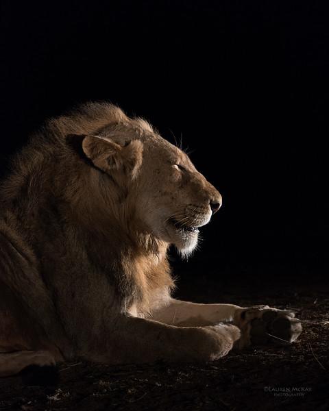 African Lion, Sabi Sands (EP), SA, Oct 2016-28.jpg