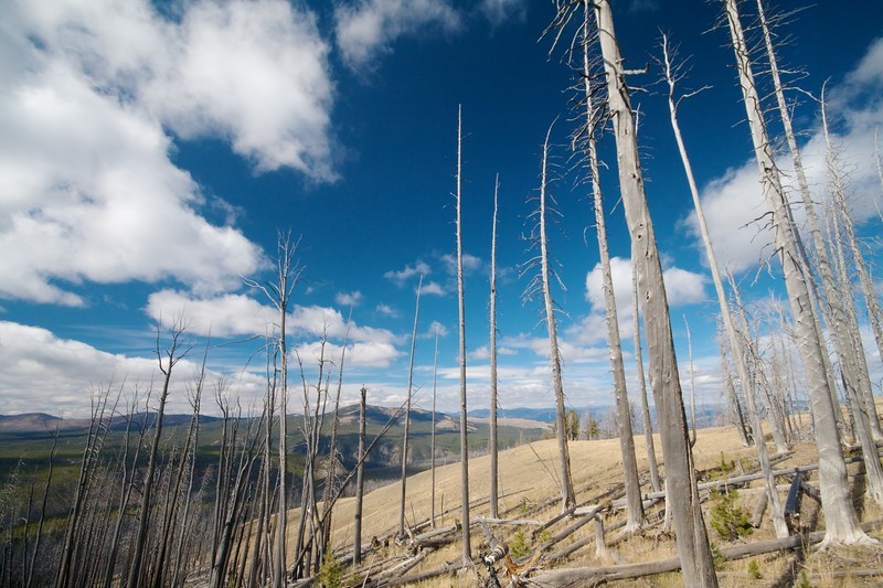Mount Washburn dead trees Yellowstone National Park WY_MG_4120.jpg