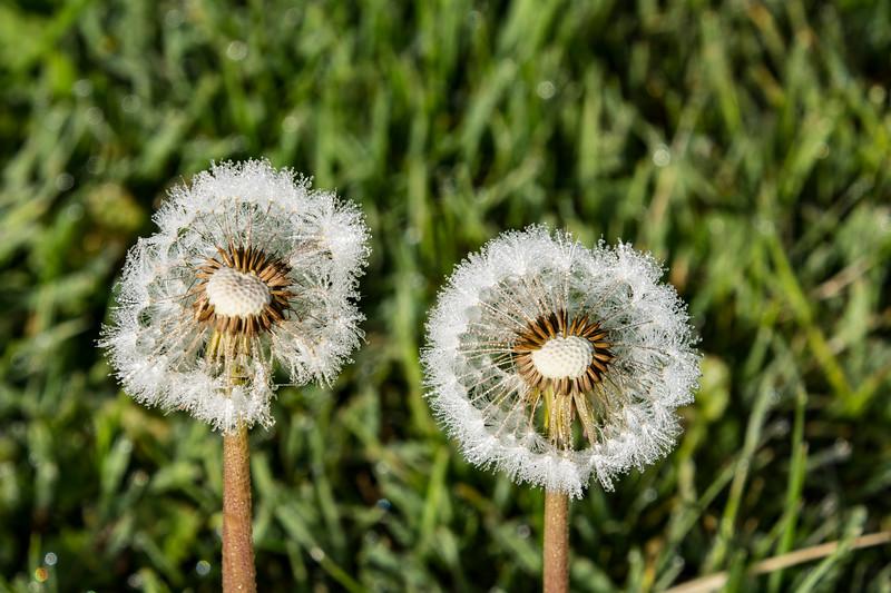 Taraxacum-officinale-dandelion-dew-drops2.jpg