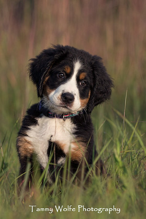 Dog, Bernese Mountain Dog