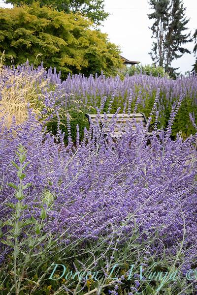 Perovskia atriplicifolia - landscape garden bench_1324.jpg